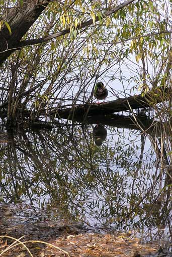Duck's fall meditation at Twin Lakes, Gunbarrel, CO