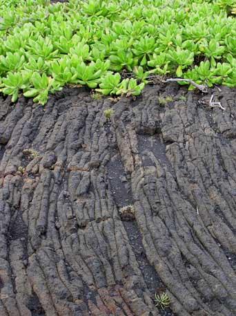 Hawai'i Volcanoes National Park : life advancing on lava
